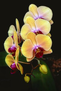 Orchid Show, Townsville. Orchid 1.