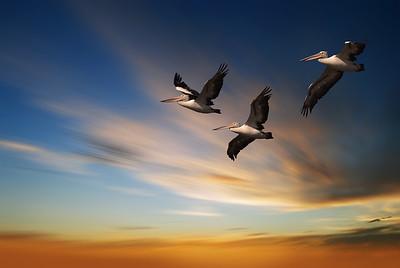 Pelicans in Flight. Panned Sky.