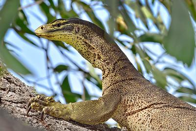 Goanna, on Tree, Townsville Common. 1.