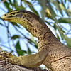 Goanna, on Tree, Townsville Common. 1.