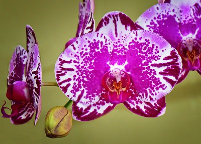 Orchid Show, Townsville. Orchid 4..