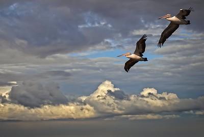 Pelicans in Flight. 1. Crop 2.