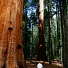 The forest floor under these huge tree is very open. Unlike the coast redwoods these trees live in a drier climate.