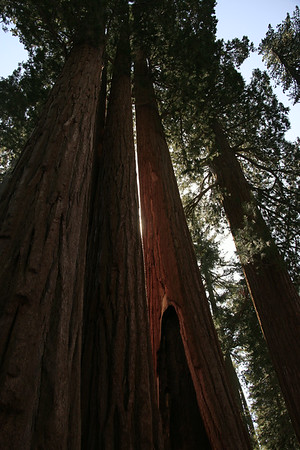 Sequoia Giant Forest 2014