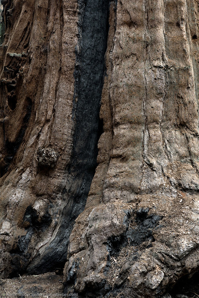 Sequoia Trunk