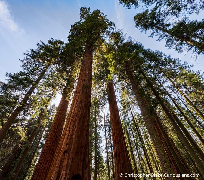 Light and Sequoias