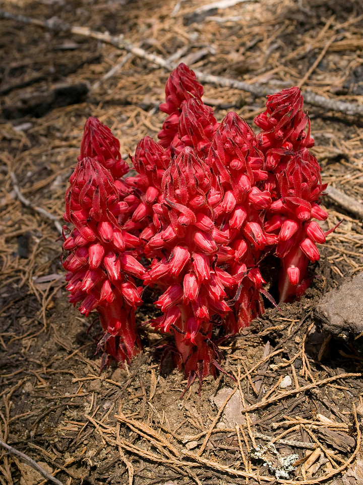 Snow Plant on the forest floor