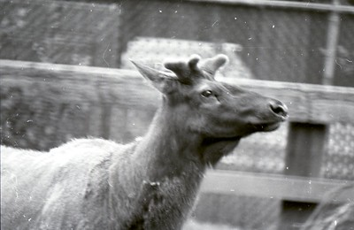 There were once elk at the Sequoia Park Zoo in Eureka. (Times-Standard file photo)