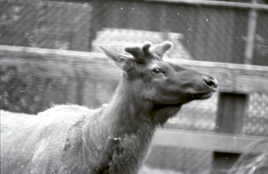 . There were once elk at the Sequoia Park Zoo in Eureka. (Times-Standard file photo)