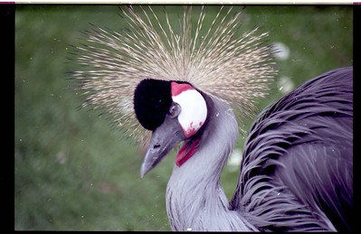 The colorful African crowned crane once called Sequoia Park Zoo home. (Times-Standard file photo)