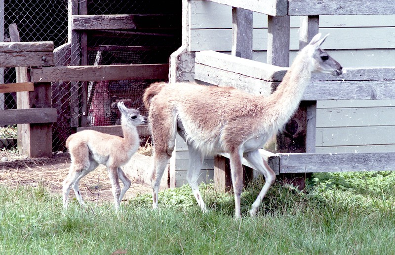 Guanacos once lived at the Sequoia Park Zoo. They are from Andes mountains and other areas in South America and are closely related to the camel. (Times-Standard file photo)