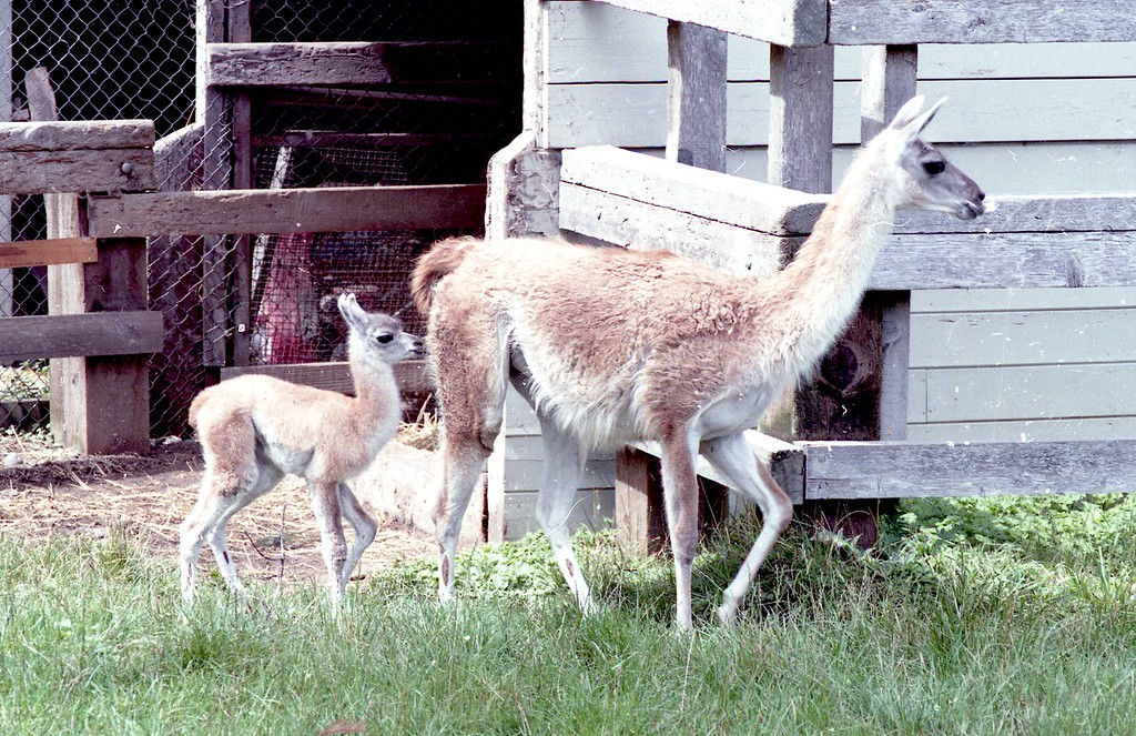 . Guanacos once lived at the Sequoia Park Zoo. They are from Andes mountains and other areas in South America and are closely related to the camel. (Times-Standard file photo)