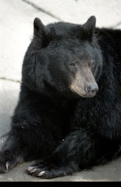 Black bears once resided at the Sequoia Park Zoo.  (Times-Standard file photo)
