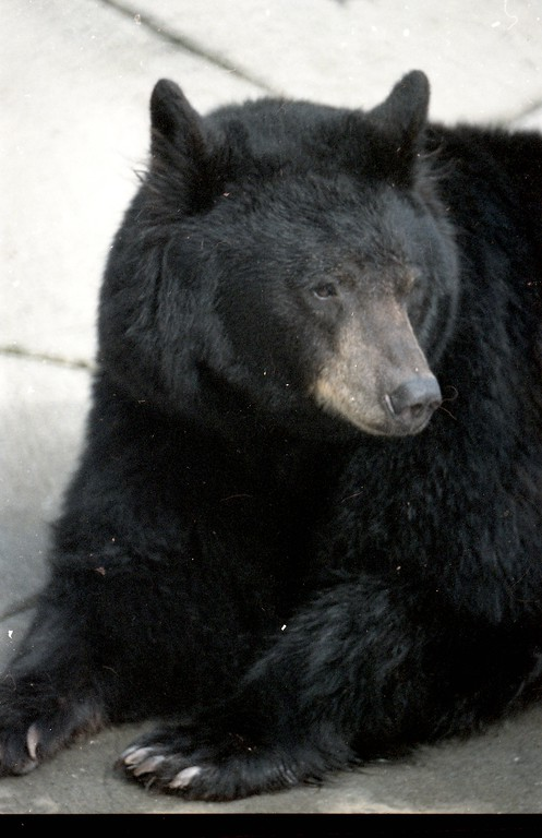 . Black bears once resided at the Sequoia Park Zoo.  (Times-Standard file photo)