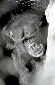 Bill the chimpanzee lived at the Sequoia Park Zoo for 50 years before his death in 2007.  (Times-Standard file photo)