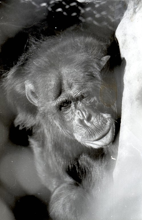 . Bill the chimpanzee lived at the Sequoia Park Zoo for 50 years before his death in 2007.  (Times-Standard file photo)