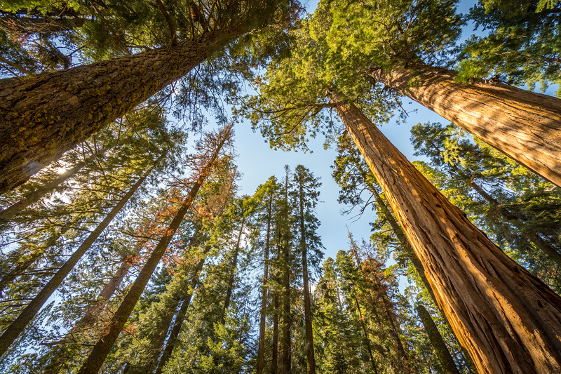 """No other tree in world has looked down on so many centuries as the Sequoia."" - John Muir"