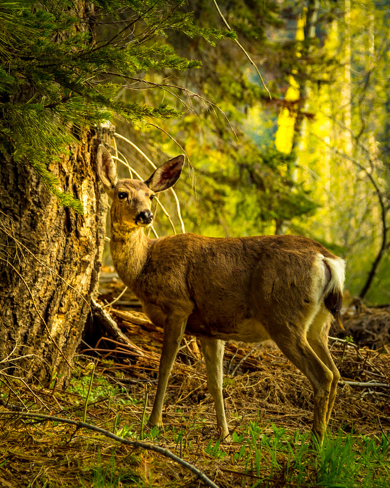 Deer at Crescent Meadow