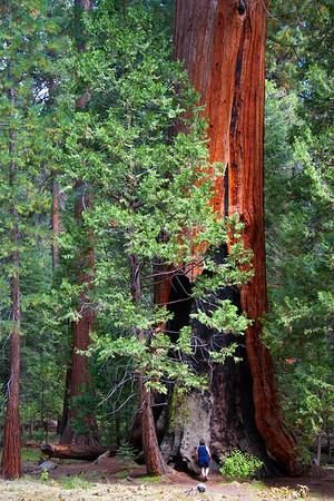 A woman gazes upon a Giant Sequoia.