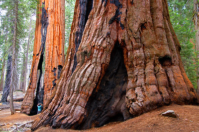 Man taking photo of Giant Sequoia tree.