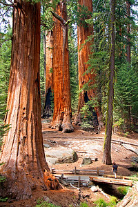 Woman gazing upon Giant Sequoia trees.