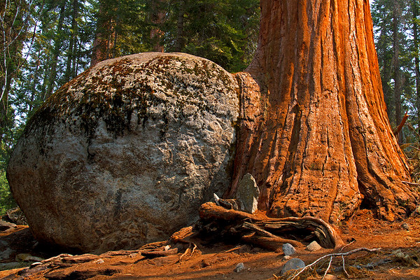 Giant Sequoia grew into a huge bolder weighing hundreds of tons.