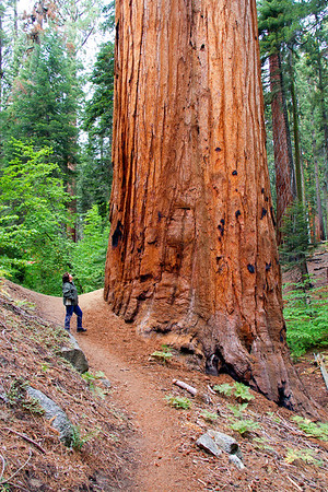 Woman gazes at Giant Sequoia tree.