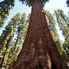 General Sherman tree in Sequoia National Park stands at 275 feet tall.