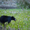 A black bear feeding on grass at dusk.