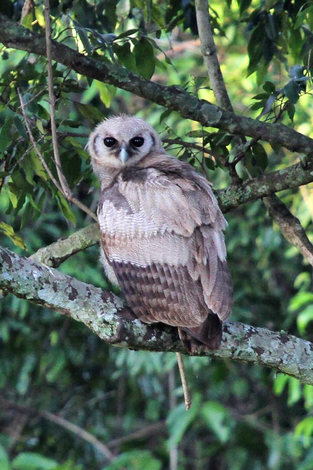 Verreuaxs eagle owl