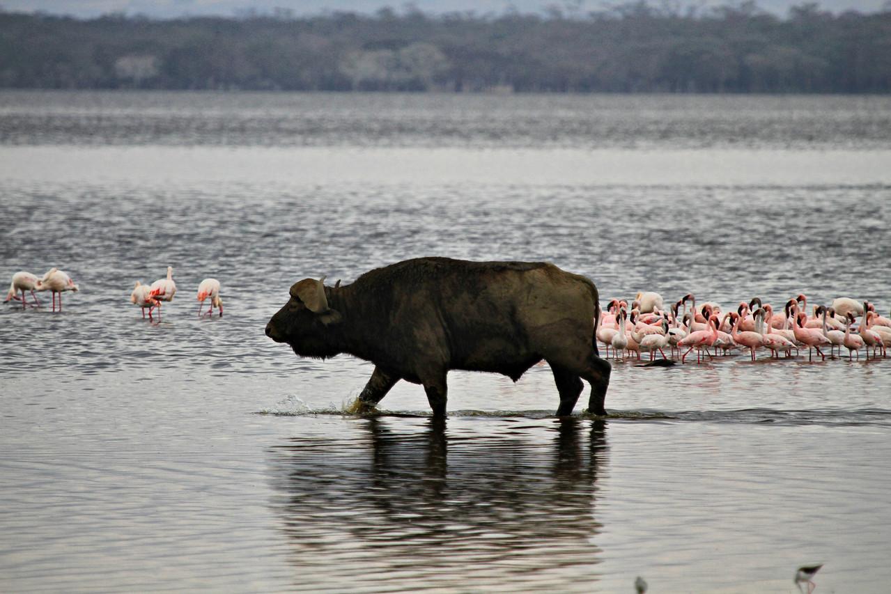 Cape buffalo and pink flamingos