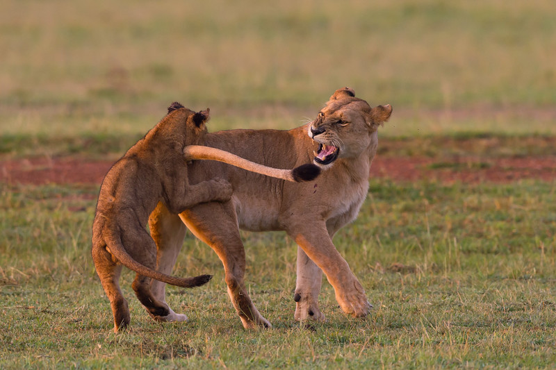 Lion playing