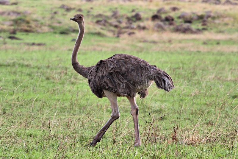 Female Masai ostrich