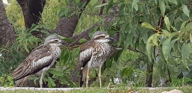 Pair of Stone Curlew