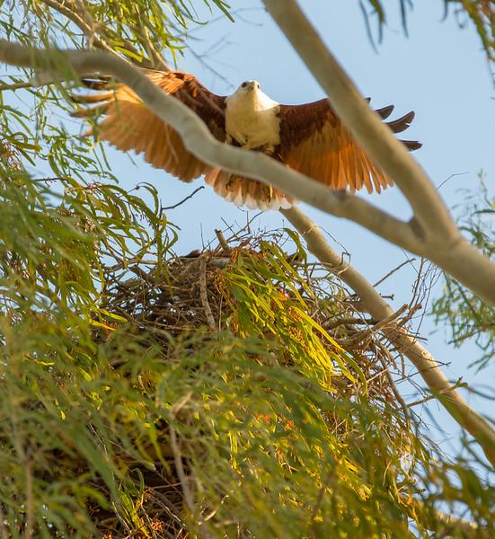 Brahminy Kite returning to nest