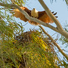 Brahminy Kite returning to nest
