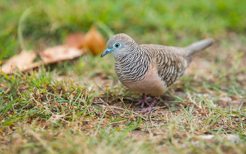 Peaceful Dove.