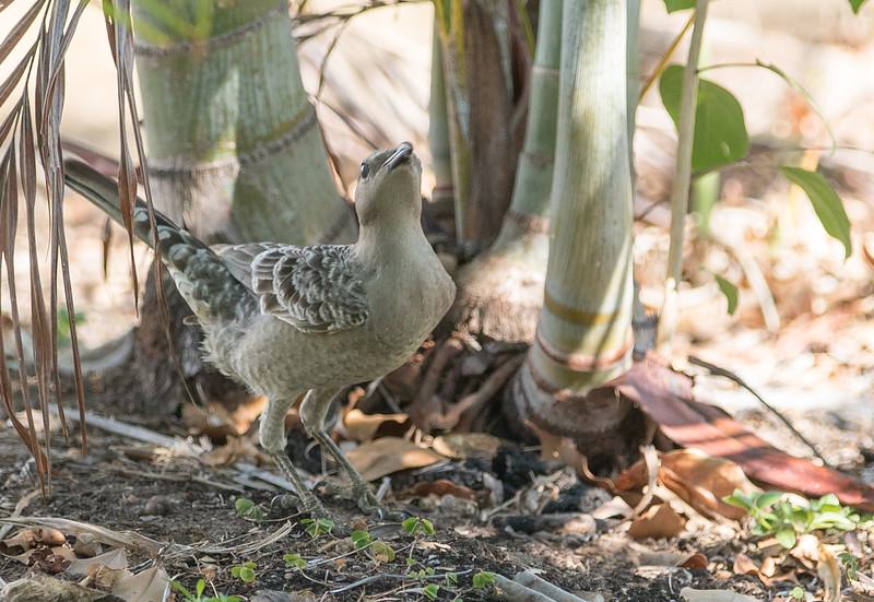 Great Bowerbird (Female)