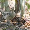 Great Bowerbird (Female)