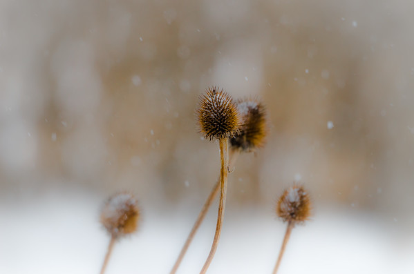 Snow on coneflowers