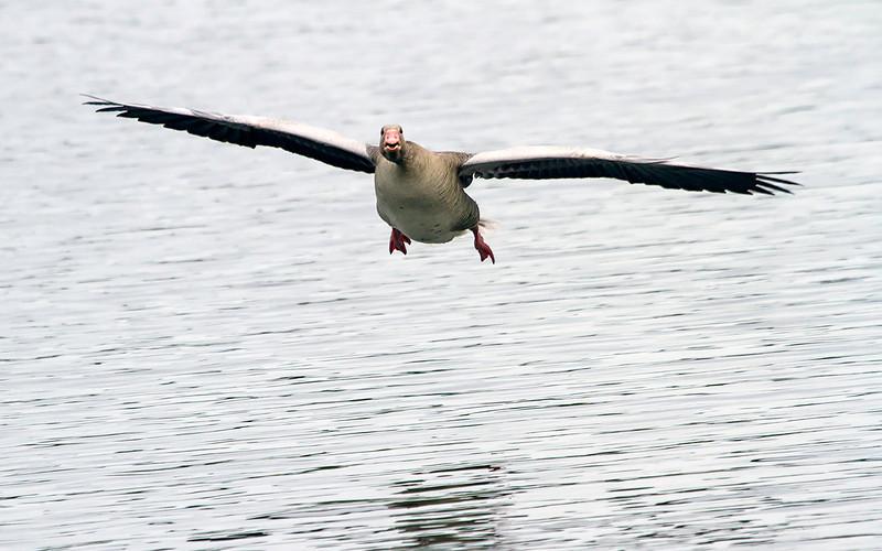 Grågås / Greylag Goose<br /> Østensjøvannet, Oslo 3.5.2014<br /> Canon EOS 7D + EF 100-400 mm 4,5-5,6 L