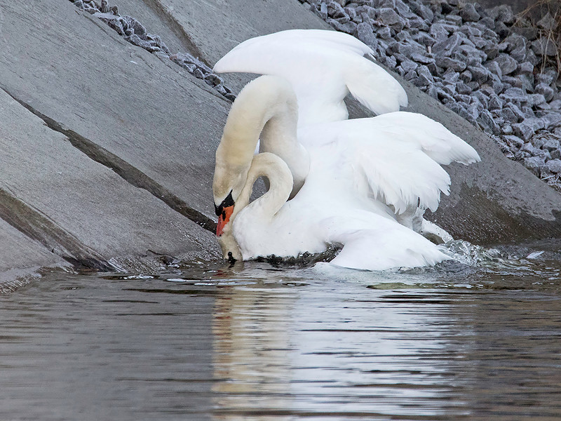 Knoppsvane / Mute Swan<br /> Vestfossen, Øvre Eiker 22.2.2015<br /> Canon 7D Mark II + Tamron 150 - 600 mm 5,0 - 6,3