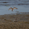 Sandlo / Common Ringed Plover<br /> Linnesstranda, Lier 16.5.2020<br /> Canon  5D Mark IV + EF 500mm f/4L IS II USM + 1.4x Ext
