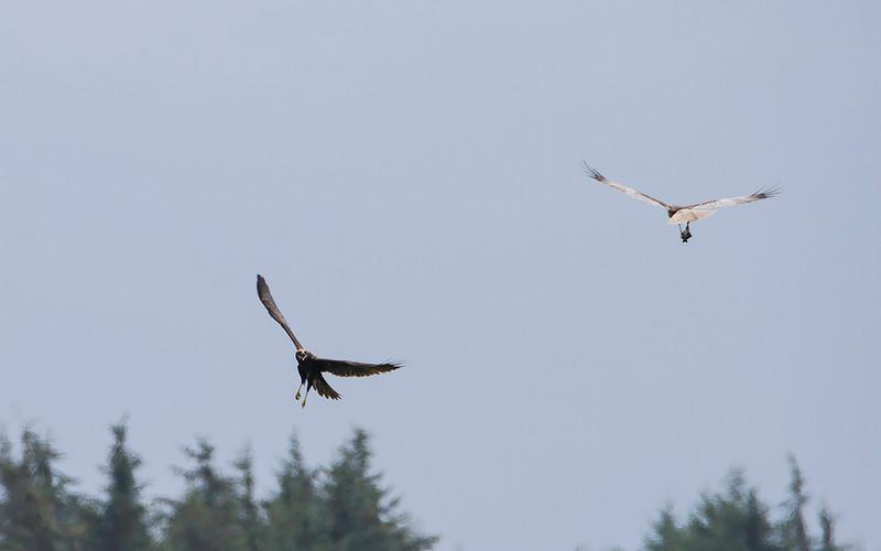 Sivhauk / Western Marsh-Harrier<br /> Vejlerne, Danmark 14.7.2014<br /> Canon EOS 7D + Tamron 150 - 600 mm 5,0 - 6,3
