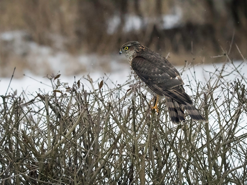 Spurvehauk / Sparrow Hawk<br /> Linnesstranda, Lier 15.2.015<br /> Canon 7D Mark II + Tamron 150 - 600 mm 5,0 - 6,3 @ 150 mm