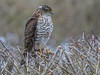 Spurvehauk / Sparrow Hawk<br /> Linnesstranda, Lier 15.2.015<br /> Canon 7D Mark II + Tamron 150 - 600 mm 5,0 - 6,3  @ 329 mm