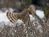 Spurvehauk / Sparrow Hawk<br /> Linnesstranda, Lier 15.2.015<br /> Canon 7D Mark II + Tamron 150 - 600 mm 5,0 - 6,3 @ 200 mm