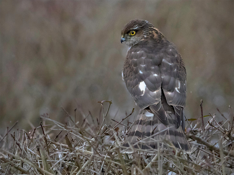 Spurvehauk / Sparrow Hawk<br /> Linnesstranda, Lier 15.2.015<br /> Canon 7D Mark II + Tamron 150 - 600 mm 5,0 - 6,3  @ 273 mm
