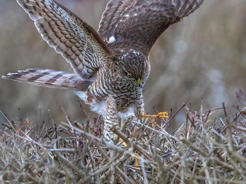 Spurvehauk / Sparrow Hawk<br /> Linnesstranda, Lier 15.2.015<br /> Canon 7D Mark II + Tamron 150 - 600 mm 5,0 - 6,3  @ 329 mm