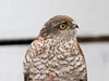 Spurvehauk / Sparrow Hawk<br /> Linnesstranda, Lier 15.2.015<br /> Canon 7D Mark II + Tamron 150 - 600 mm 5,0 - 6,3